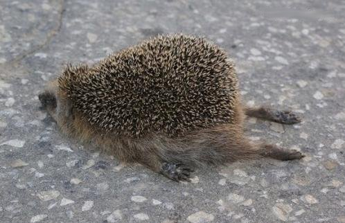 Tired Hedgehog